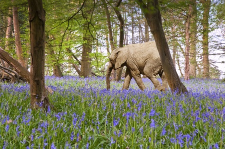 Unique image of baby elephant calf walking thhrough bluebell woods in Spring photo