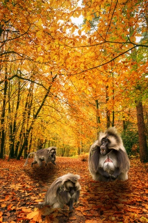 Beautiful autumn fall forest scene with vibrant colors and excellent detail and troop of gelada baboons  photo