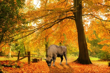 Beautiful autumn fall forest scene with vibrant colors and excellent detail and European bison grazing on fallen leaves photo
