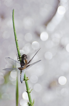 chaser: Close up detailed image of broad bodied chaser dragonfly which comes out in Spring when temperatures pick up Stock Photo