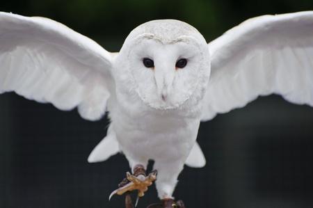 birds in flight: Falconry display featuring barn owl tuto alba alba Stock Photo
