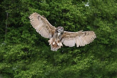 falconry: Beautiful image of European Eagle Owl in flight bubo bubo Stock Photo
