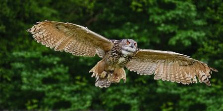 Beautiful image of European Eagle Owl in flight bubo bubo