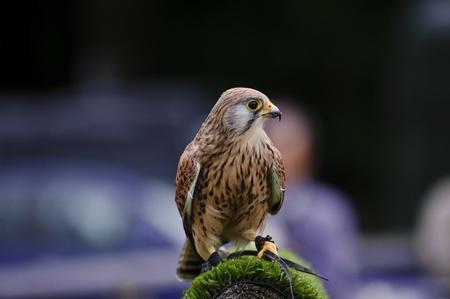 cetreria: Cetrer�a muestran con Cern�calo masculino falco tinnunculus
