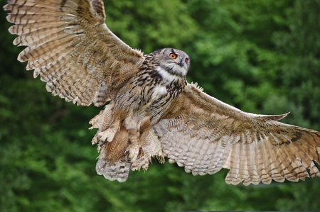 the bird of prey: Beautiful image of European Eagle Owl in flight bubo bubo Stock Photo