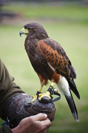 falconry: Falconry display featuring harris hawk parabuteo unicinctus