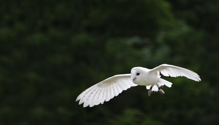 falconry: Falconry display featuring barn owl tuto alba alba Stock Photo