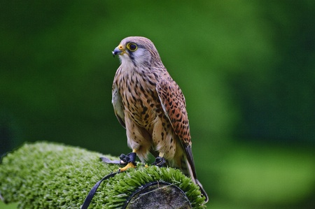 falconry: Falconry show with male kestrel falco tinnunculus