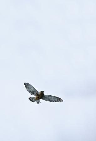cetreria: Cetrer�a muestran con macho Cern�calo falco tinnunculus Foto de archivo
