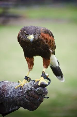 cetreria: Cetrer�a mostrar con harris hawk EE unicinctus Foto de archivo