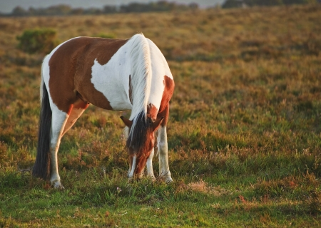 Brown and white New Forest pony horse in sunrise landscape photo