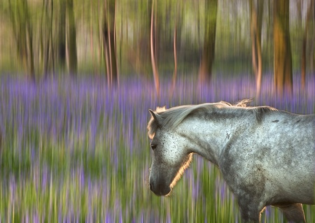 Faantasy style image of backlit pony walking through a bluebell wood that is motion blurred photo