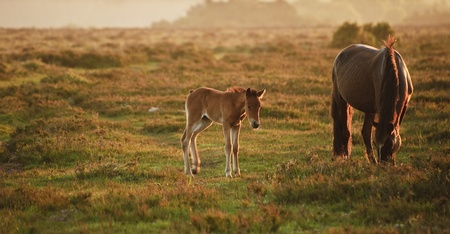 Mare and foal of New Forest pony grazing in landscape lit by warm sunrise photo