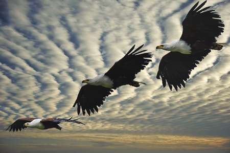 the bird of prey: Composite image of three different stages of flight of african fish eagle Stock Photo