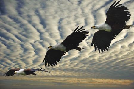 halcones: Imagen compuesta de tres etapas del vuelo del �guila africana peces Foto de archivo