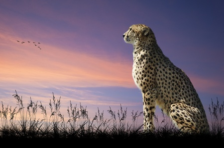 African safari concept image of cheetah looking out over savannah with beautiful sunset sky photo