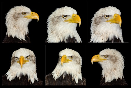 Collection of 6 bald eagle portraits isolated on black photo