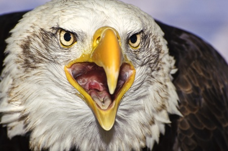 piebald: Close up portrait of American bald eagle squawking Stock Photo