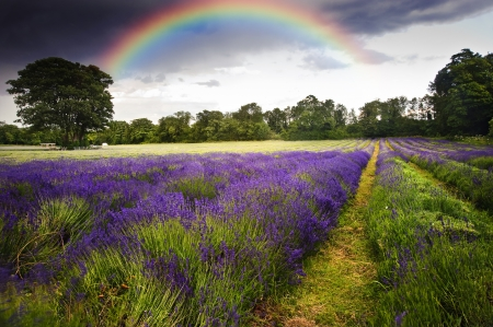Beautiful image of moody dramatic storm clouds over vibrant lavender fields in countryside landscape