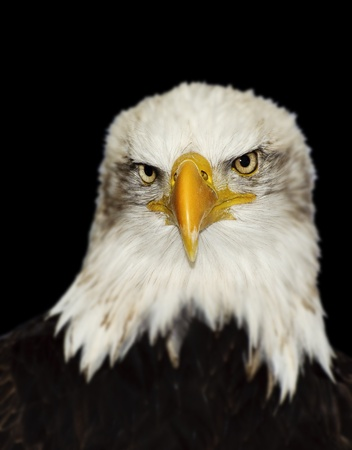 Full frontal portrait of American bald eagle isolated on black photo