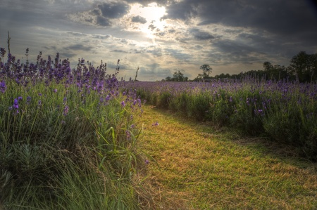 Lovely image of lavender field at sunset with fantastic detail and clarity, viewed looking along ground between rows of lavender