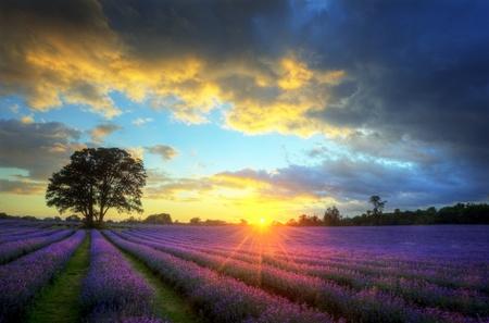 Bella imagen del impresionante atardecer con nubes atmosféricas y cielo sobre campos de lavanda madura vibrante en el paisaje de la campiña inglesa Foto de archivo