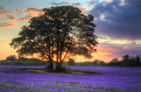 fiori di lavanda: Bella immagine del tramonto mozzafiato con nuvole atmosferiche e cielo su campi di lavanda maturi vibrante nel paesaggio di campagna inglese