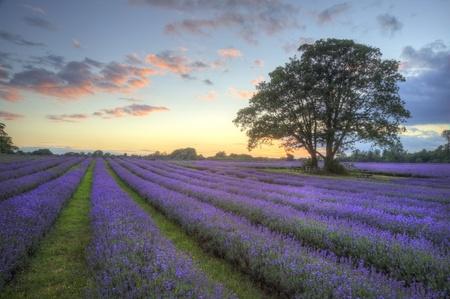 Bella immagine del tramonto mozzafiato con le nubi atmosferiche e cielo sopra i campi maturi vibrante di lavanda in paesaggio di campagna inglese Archivio Fotografico - 10268471