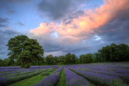 Beautiful image of stunning sunset with atmospheric clouds and sky over vibrant ripe lavender fields in English countryside landscape Stock Photo - 10268675