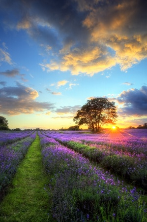 Beautiful image of stunning sunset with atmospheric clouds and sky over vibrant ripe lavender fields in English countryside landscape photo