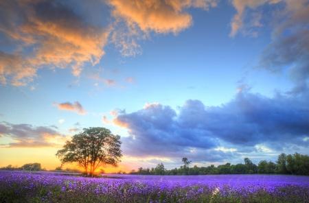 Belle image de magnifique coucher de soleil avec nuages atmosphériques et le ciel au-dessus des champs de lavande ripe dynamiques dans le paysage de la campagne anglaise