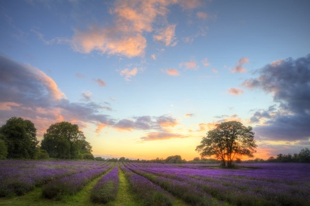 Beautiful image of stunning sunset with atmospheric clouds and sky over vibrant ripe lavender fields in English countryside landscape Stock Photo - 10313414