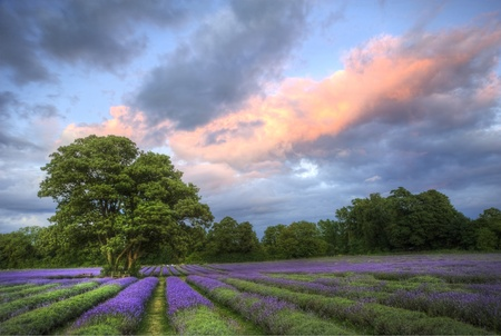 skyscape: Beautiful image of stunning sunset with atmospheric clouds and sky over vibrant ripe lavender fields in English countryside landscape