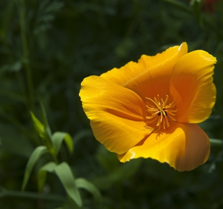 emphasise: Shallow depth of field used to emphasise vibrant orange wild poppy flower