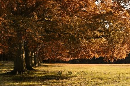 Avenue of oak trees bathed in last of Autumn Fall evening golden sun photo