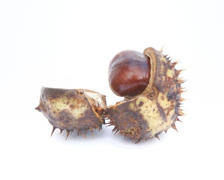 Autumn Fall Conker horse chestnut in prickly shell photo