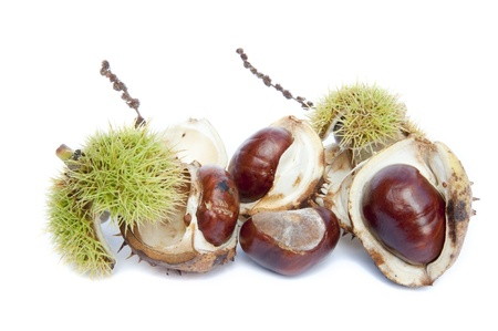 aesculus hippocastanum: Autumn Fall Conker horse chestnut in prickly shell