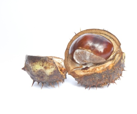 conker: Autumn Fall Conker horse chestnut in prickly shell