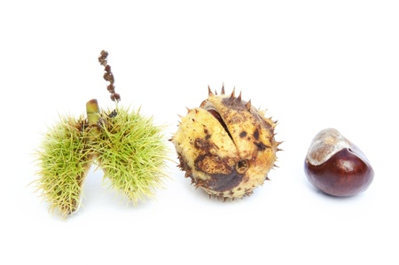 Autumn Fall Conker horse chestnut in prickly shell Stock Photo - 10610499