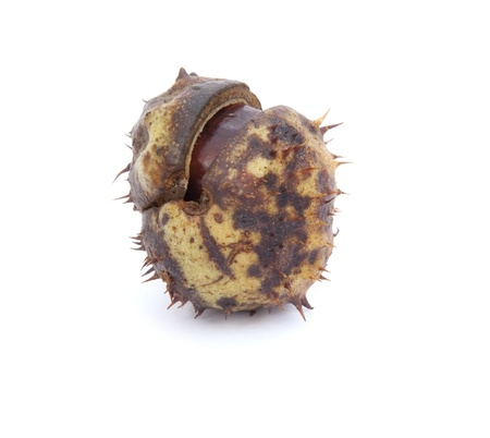 Autumn Faall Conker horse chestnut in prickly shell photo