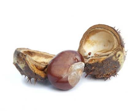 Autumn Faall Conker horse chestnut in prickly shell Stock Photo - 10671305