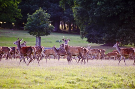 mating colors: Herd of red deer stags and hinds during rut season in Autumn Fall