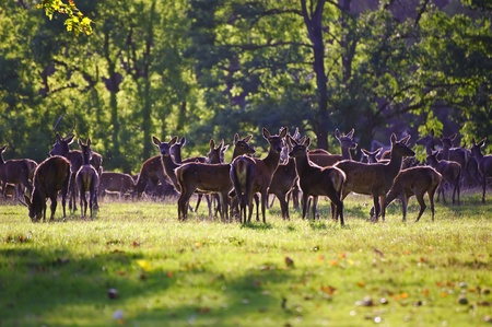 roaming: Herd of red deer stags and hinds during rut season in Autumn Fall