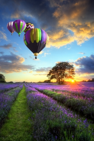 Beautiful image of stunning sunset with atmospheric clouds and sky over vibrant ripe lavender fields in English countryside landscape with hot air balloons flying high Фото со стока