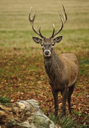 Portrait de Red Deer forêt adulte Stagi n d'automne d'automne Banque d'images - 11178799