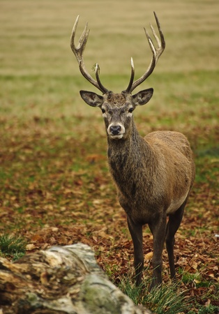 Portrait of adult red deer stagi n Autumn Fall forest