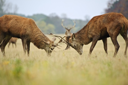 jousting: Jousting fighting red deer stags clashing antlers in Autumn Fall forest meadow Stock Photo