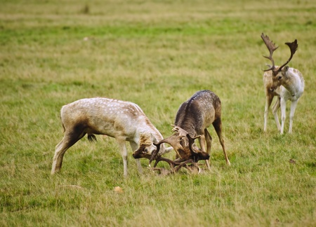 Grroup of fallow deer stags fighting in Autumn Fall photo