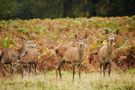 Vibrant Autumn Fall image of red deer does in forest photo