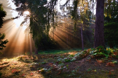 Motivational sunbeams through trees in Autumn Fall forest at sunrise photo
